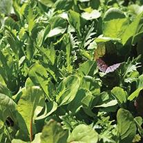 Salad Leaves Mixed Mild Seeds