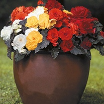 Begonia Non Stop Mocca Mixed F1 Flower Seeds