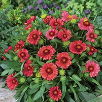 Gaillardia Arizona Red Flower Seeds