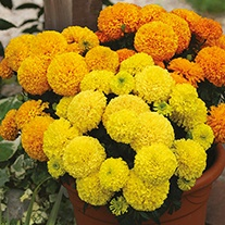 Marigold (African) Dune Mixed Flower Seeds