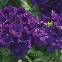 Verbena Tuscany Blue Flower Seeds