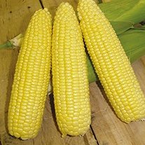 Sweetcorn Mirai Gold F1 Seeds