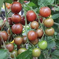 Tomato Chocolate Cherry Seeds