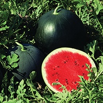 Watermelon Red Star F1 Seeds