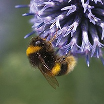 Mixed Bee Friendly Flower Seeds