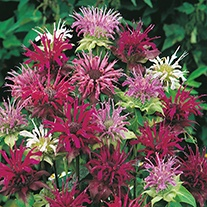 Bergamot Panorama Mixed Flower Seeds