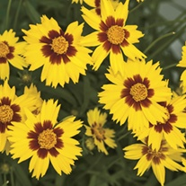 Coreopsis Rising Sun Flower Seeds