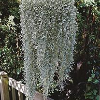 Dichondra Silver Falls Flower Seeds