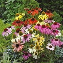 Echinacea Dreamcoat Flower Seeds