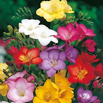 Freesia Scented Mixed Flower Seeds