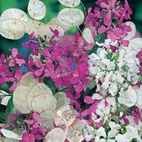 Honesty Purple & White Mixed Flower Seeds