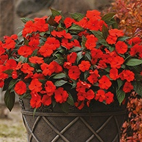 Busy Lizzie Divine Orange Bronze Leaf F1 Flower Seeds