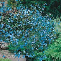 Lobelia (Trailing) Cascade Blue Flower Seeds