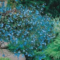 Lobelia (Trailing) Cascade Blue Flower Seeds
