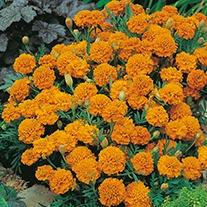 Marigold (French) Orange Boy Flower Seeds