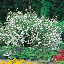 Lobelia (Edging Variety) White Fountains Flower Seeds