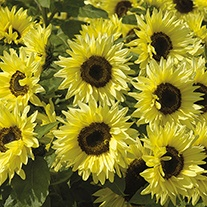 Sunflower (Dwarf) Garden Statement Flower Seeds