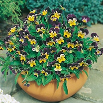 Viola Johnny Jump Up Flower Seeds