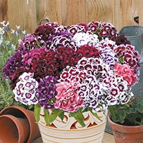 Sweet William Electron Mixed Flower Seeds