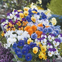 Viola Floral Power Mixed F1 Flower Seeds
