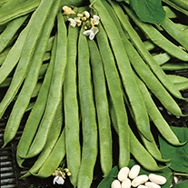 Runner Bean (White Flowered) Equator Seeds