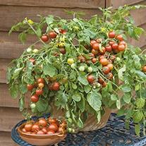 Tomato Cherry Falls Seeds