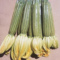 Courgette Romano F1 Seeds