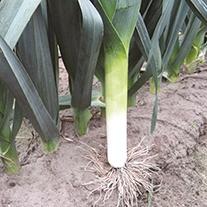 Leeks Porvite AGM Seeds