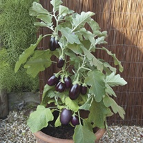 Aubergine Pot Black F1 Seeds
