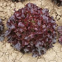 Lettuce Navara Seeds