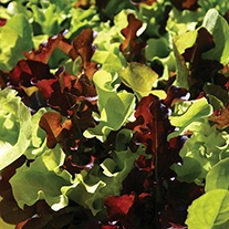 Lettuce Mixed Contrasts Seeds