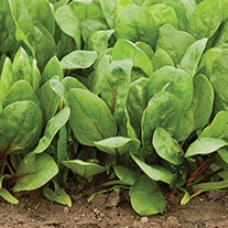 Spinach Red Cardinal F1 Seeds