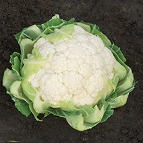 Cauliflower Raleigh F1 Seeds
