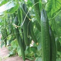 Cucumber Carmen F1 AGM Veg Plants