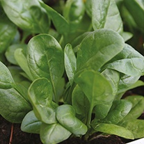 Salad Leaves Spinach Lazio F1 Seeds