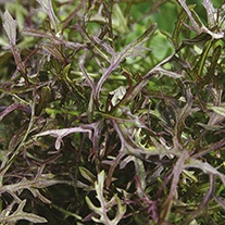 Salad Leaves Mustard Red Frills Seeds
