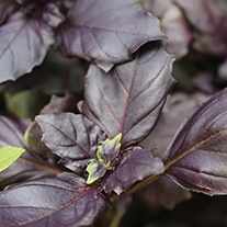Red Rubin Basil Herb Seeds