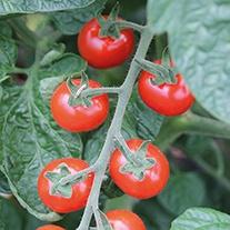 Tomato Strillo F1 Seeds