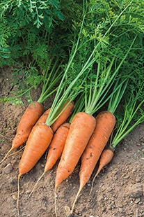 Carrot Chantenay Red Cored 2 Chaba Seeds
