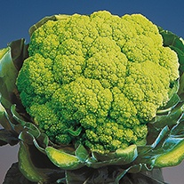 Cauliflower Trevi F1 Seeds