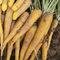 Carrot Yellow Bunch F1 Seeds