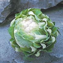 Cauliflower Triomphant F1 AGM Plants