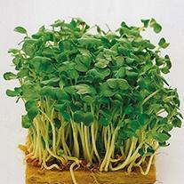 Salad Leaves Mustard White Seeds