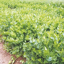 Celery Parcel Seeds