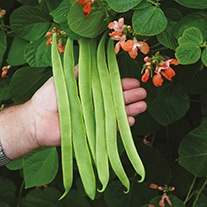 Runner Bean (Pink Flowered) Celebration AGM Seeds