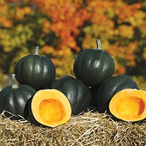 Squash (Winter) Honey Bear F1 AGM Seeds