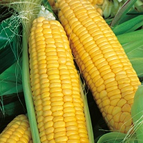 Sweetcorn Lark F1 AGM Seeds