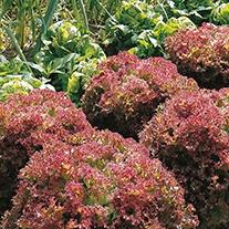 Lettuce Lollo Rossa AGM Seeds