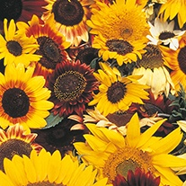Sunflower D.T. Brown Mixed Flower Seeds
