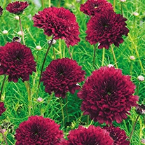 Cosmos Double Click Cranberries Flower Seeds
